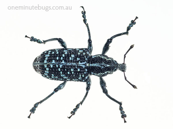 Botany Bay weevil