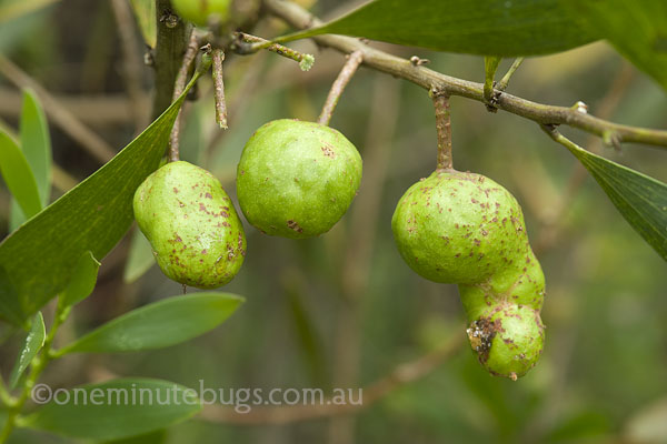 Wattle apple gall